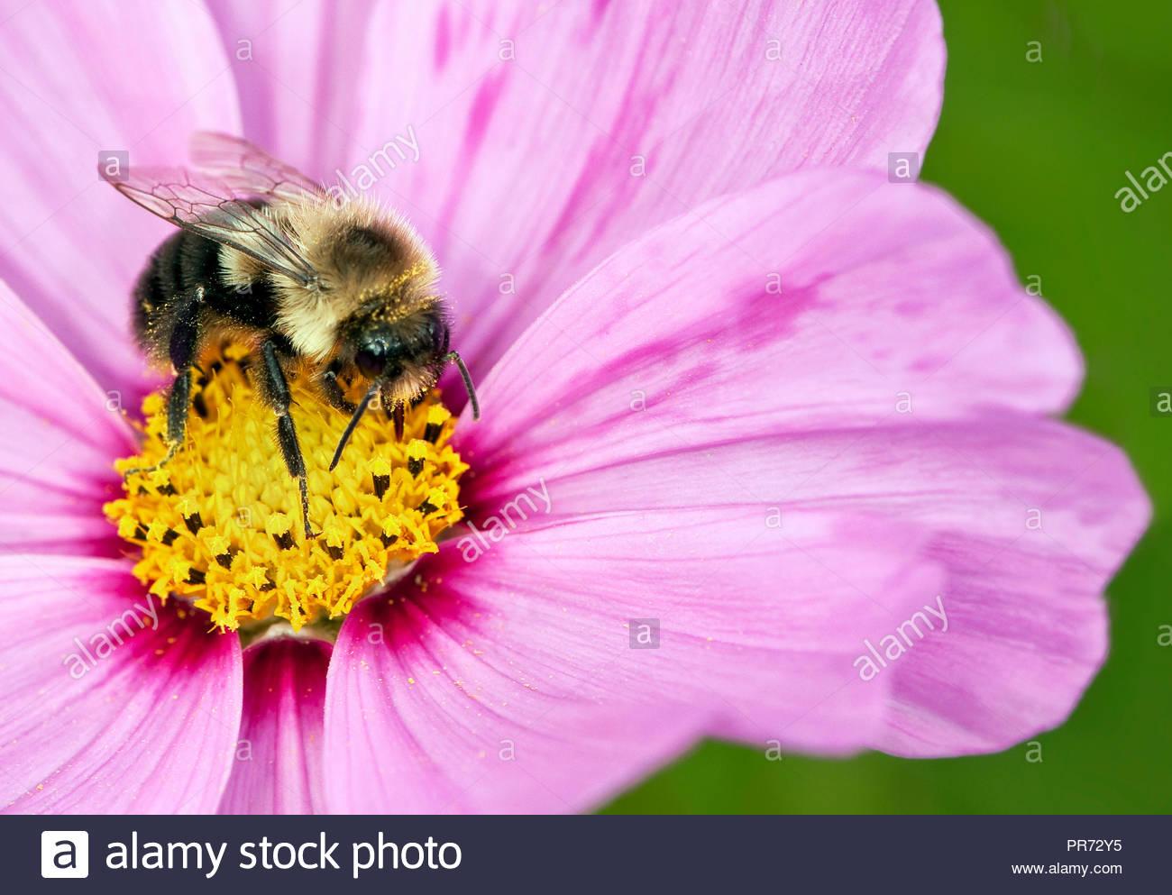 macro shot of bumble bee on pink flower - Stock Image