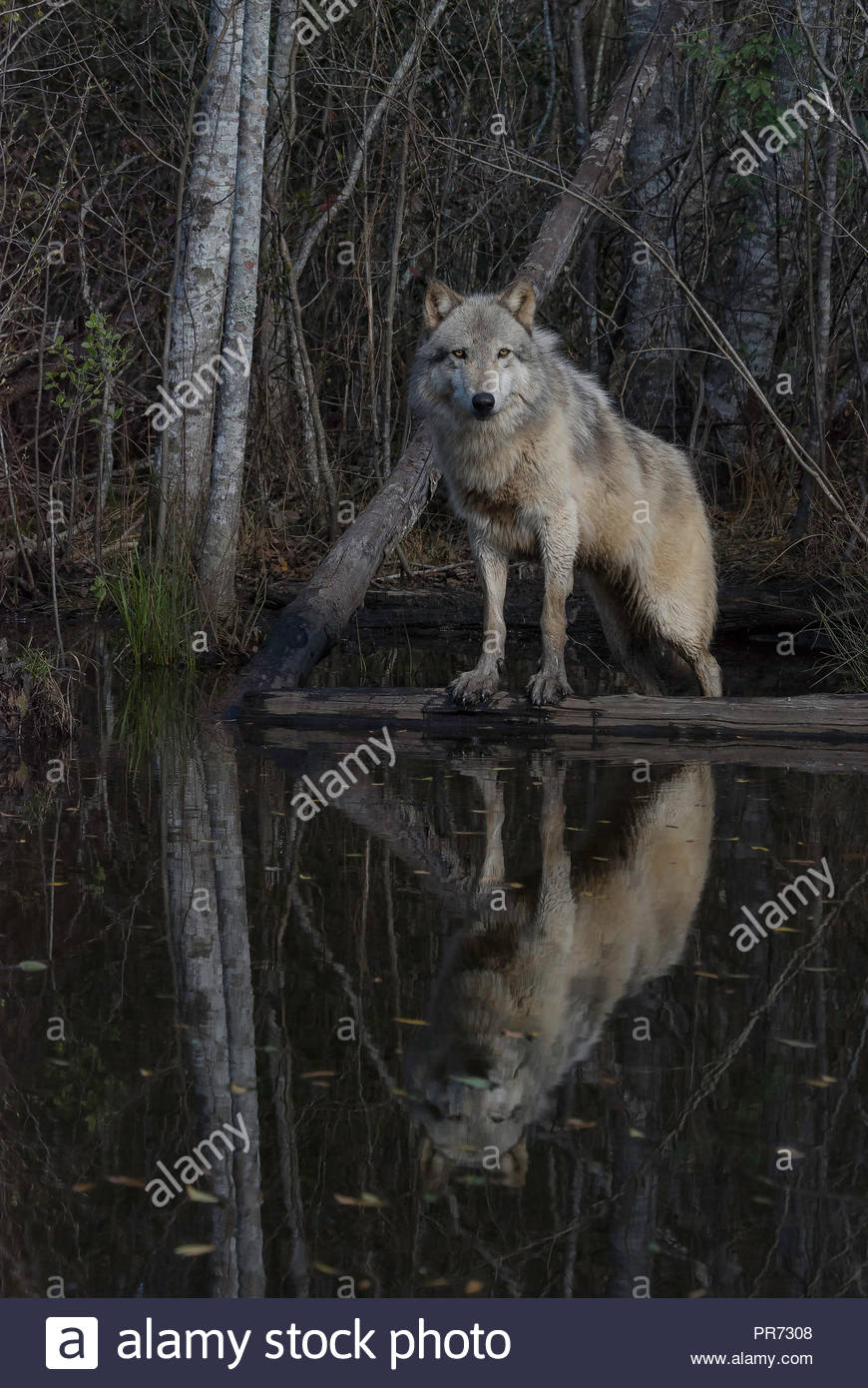 Gray Wolf Standing on a Log Reflected in a Pond Stock Photo