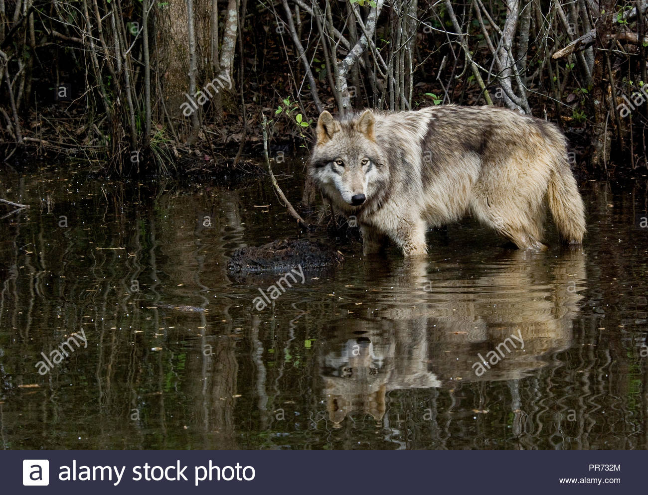 Gray wolf standing in a pond with reflection - Stock Image