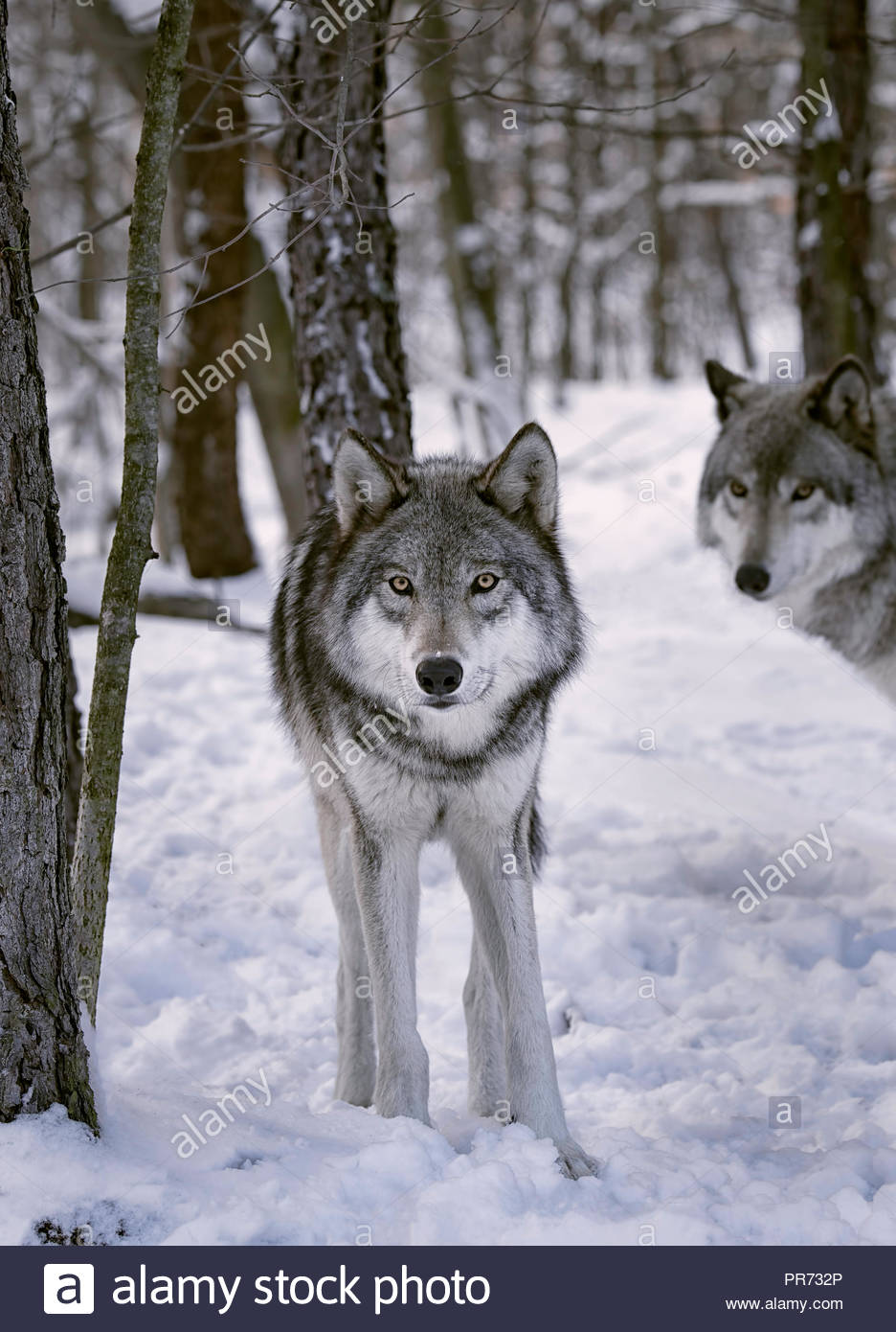 Gray wolves in the snow - Stock Image
