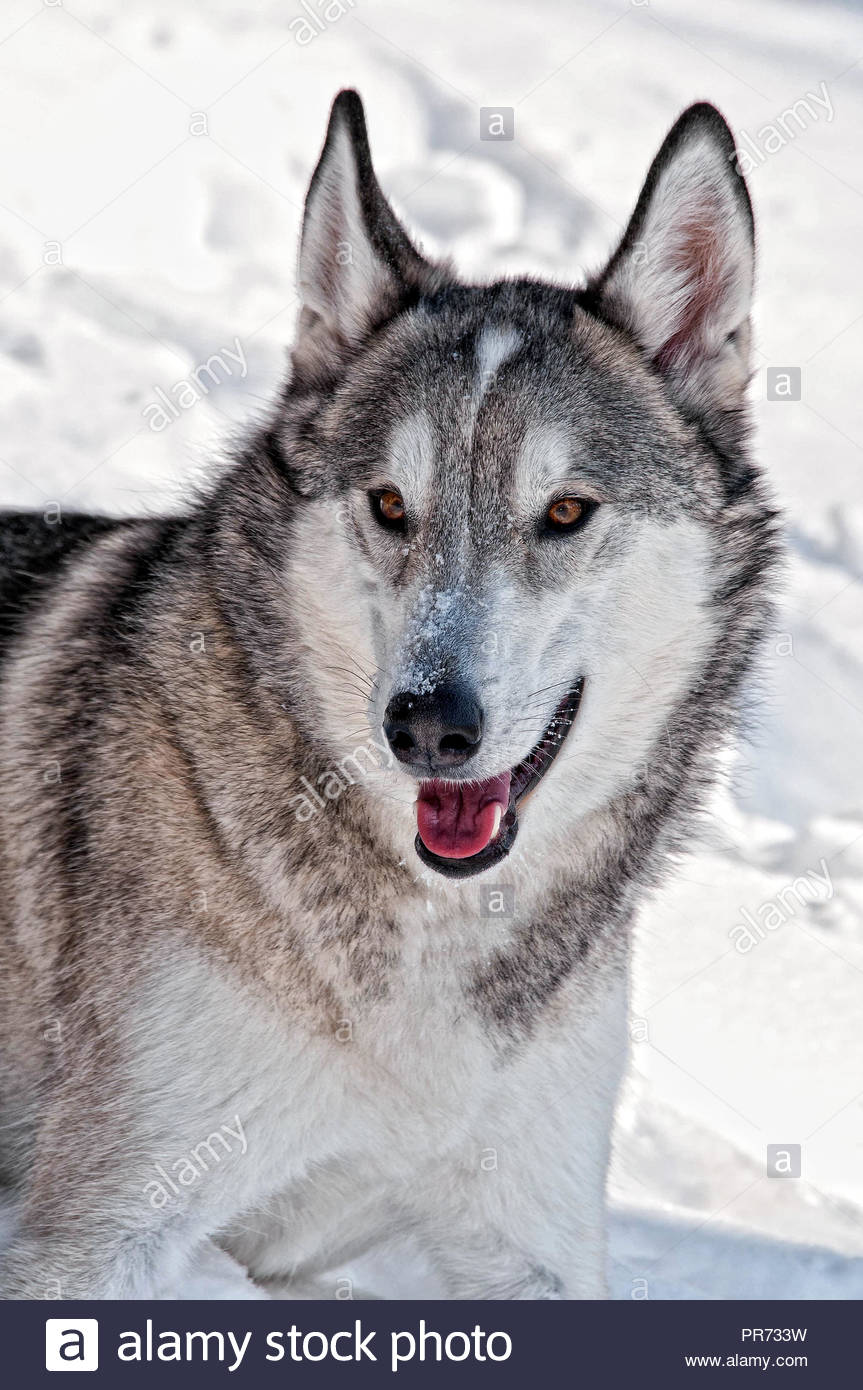 Gray Wolf Hybrid in the Snow - Stock Image