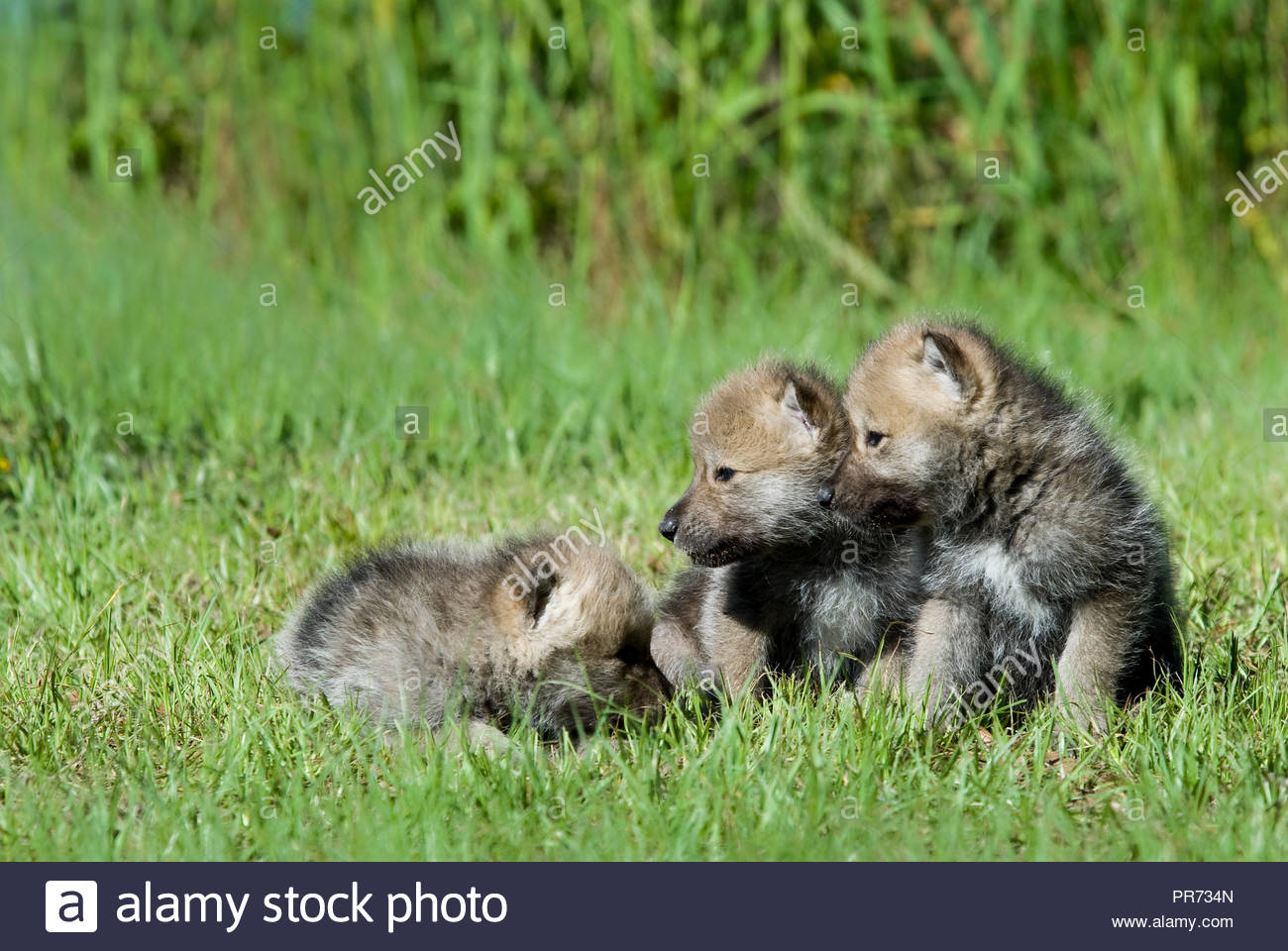 Three Arctic Wolf Puppies Playing in the Grass - Stock Image