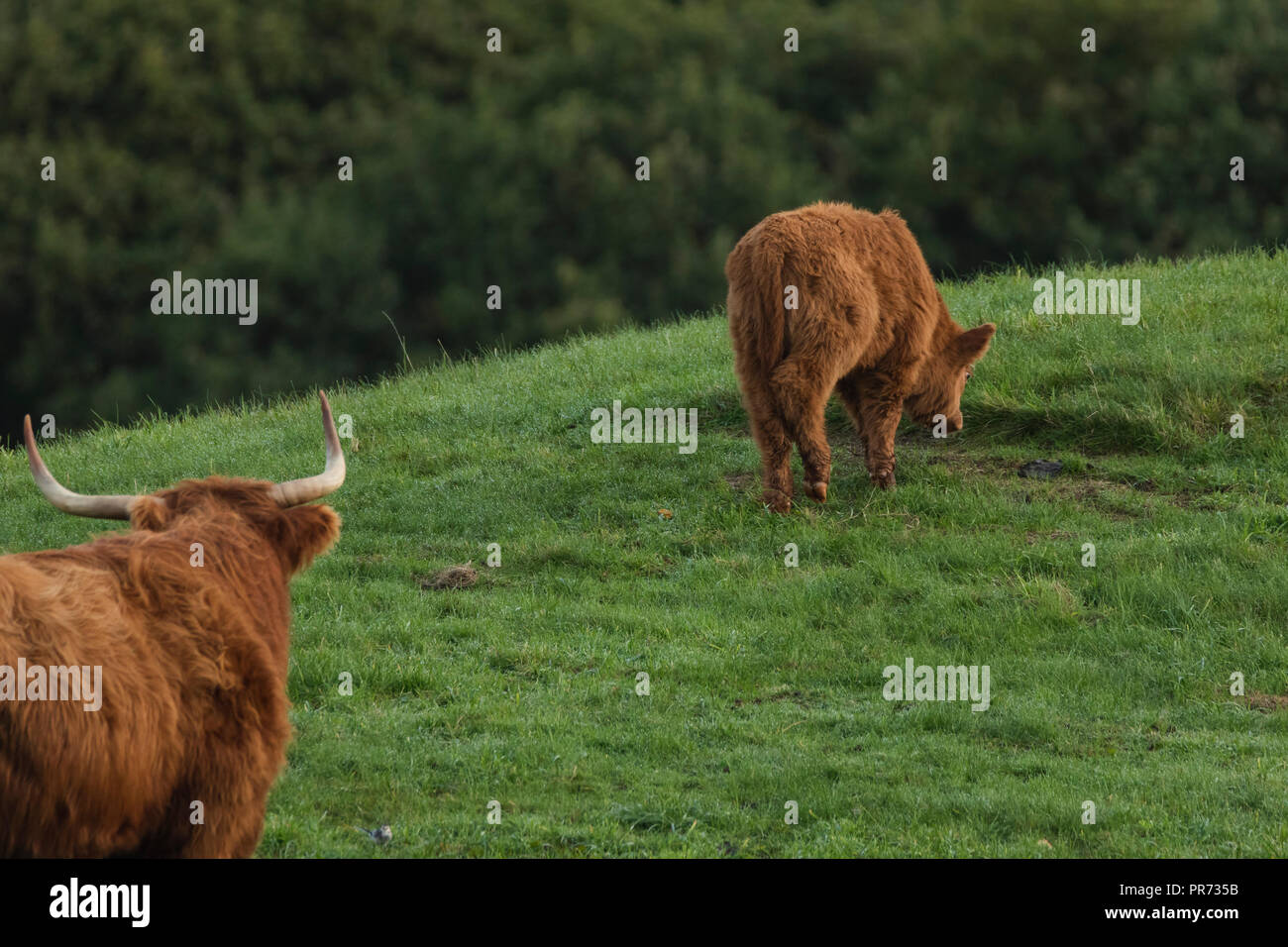 Scottish highland cows, bull looking at calf in field, Scotland UK - Stock Image