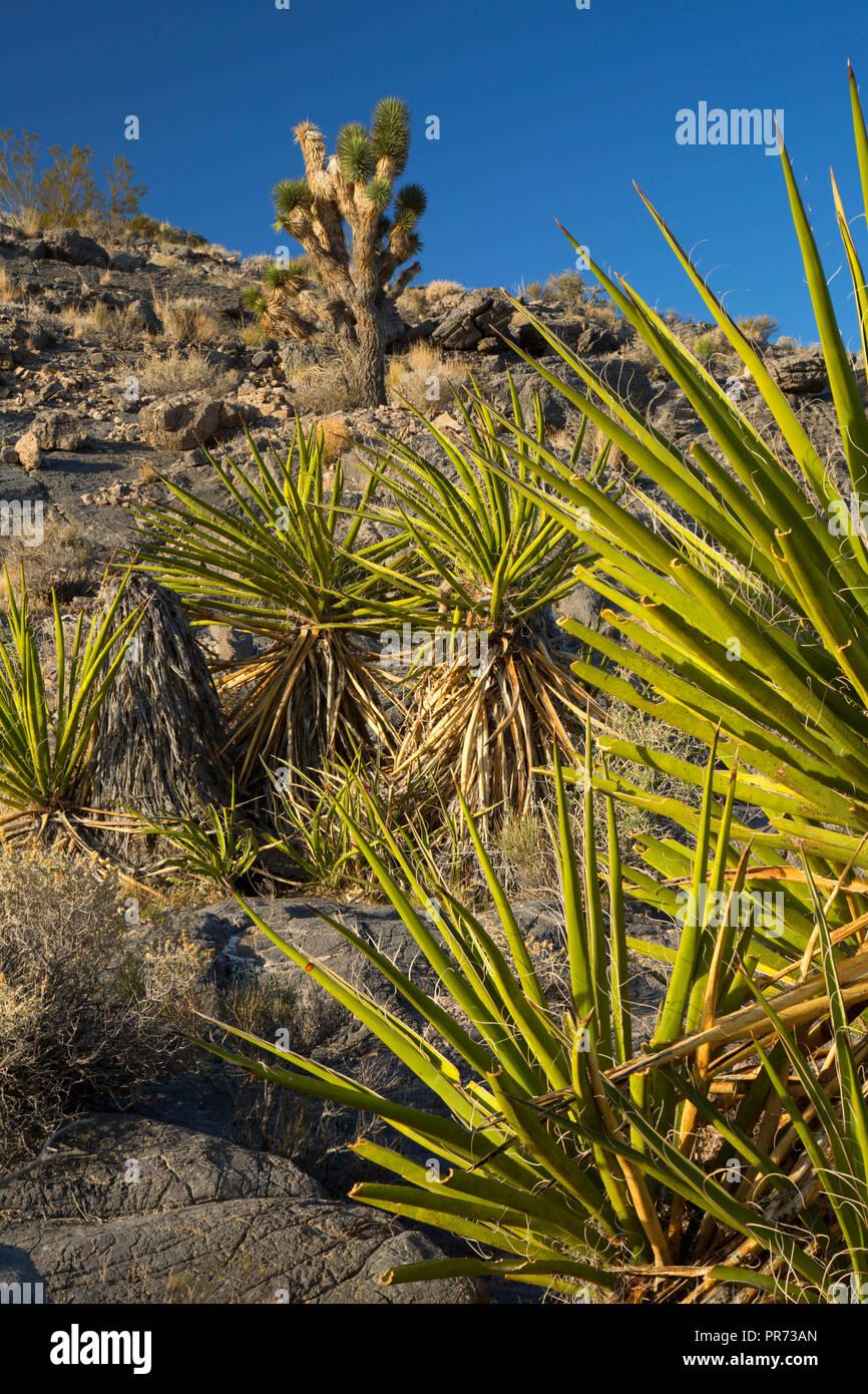Mojave yucca, Desert National Wildlife Refuge, Nevada - Stock Image