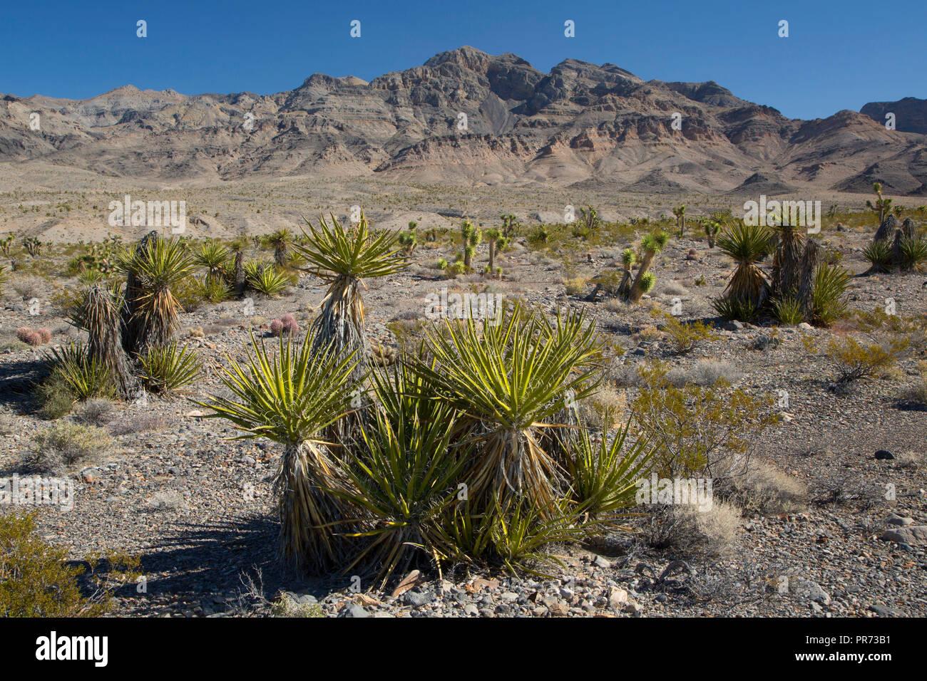 Mojave yucca to Sheep Range, Desert National Wildlife Refuge, Nevada - Stock Image