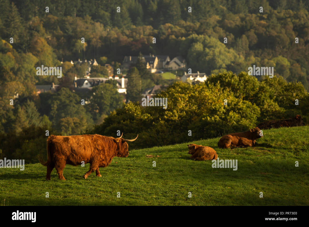 Scottish highland cows, bull, female and young in field, Scotland UK - Stock Image