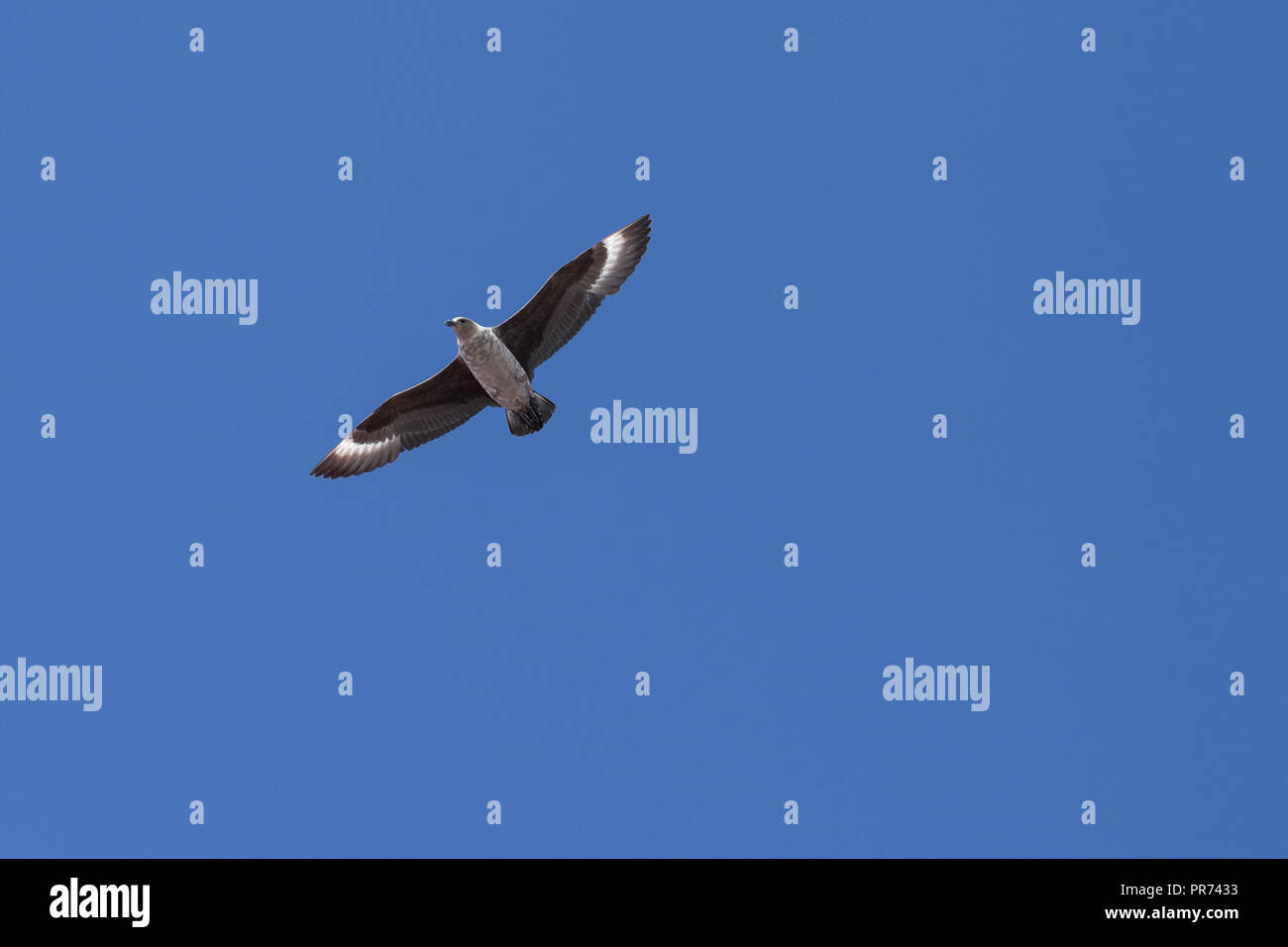 South Polar Skua flying against a blue sky with wings spread wide gliding over head. - Stock Image