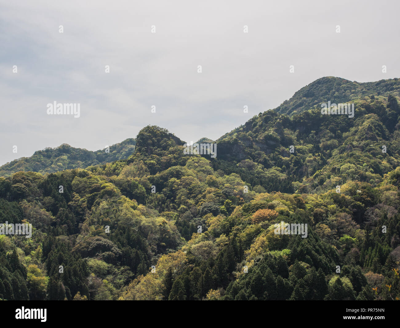 Japanese silviculture. Conifers planted in groves,  amongst natural hardwood forest, Kunisaki Hanto, Oita, Kyushu - Stock Image