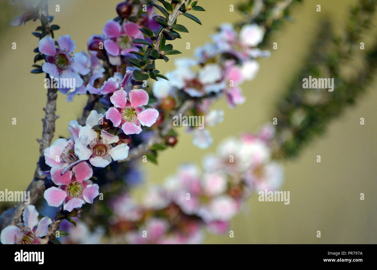 Pink And White Flowers And Buds Of The Peach Blossom Tea Tree