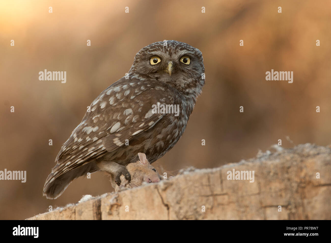Image of: Pixabay The Little Owl Nocturnal Birds Of Prey Athene Noctua Perched On Branch With Mouse Recently Hunted Alamy The Little Owl Nocturnal Birds Of Prey Athene Noctua Perched On
