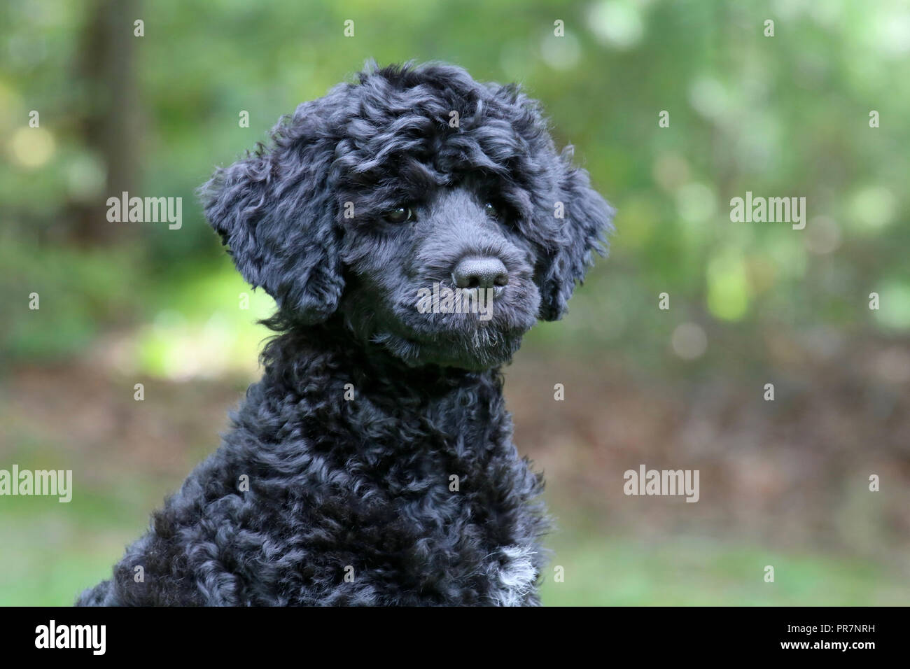 A black Portuguese Water Dog puppy - head and shoulders outside in Fall - Stock Image