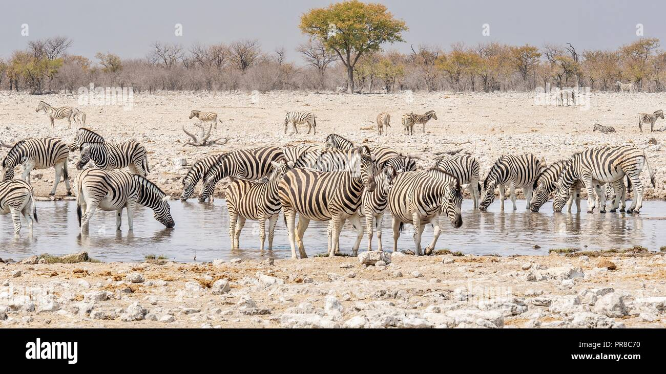 A herd of Burchell's zebra gathered at a waterhole in Etosha National Park, Namibia, during the dry season. - Stock Image