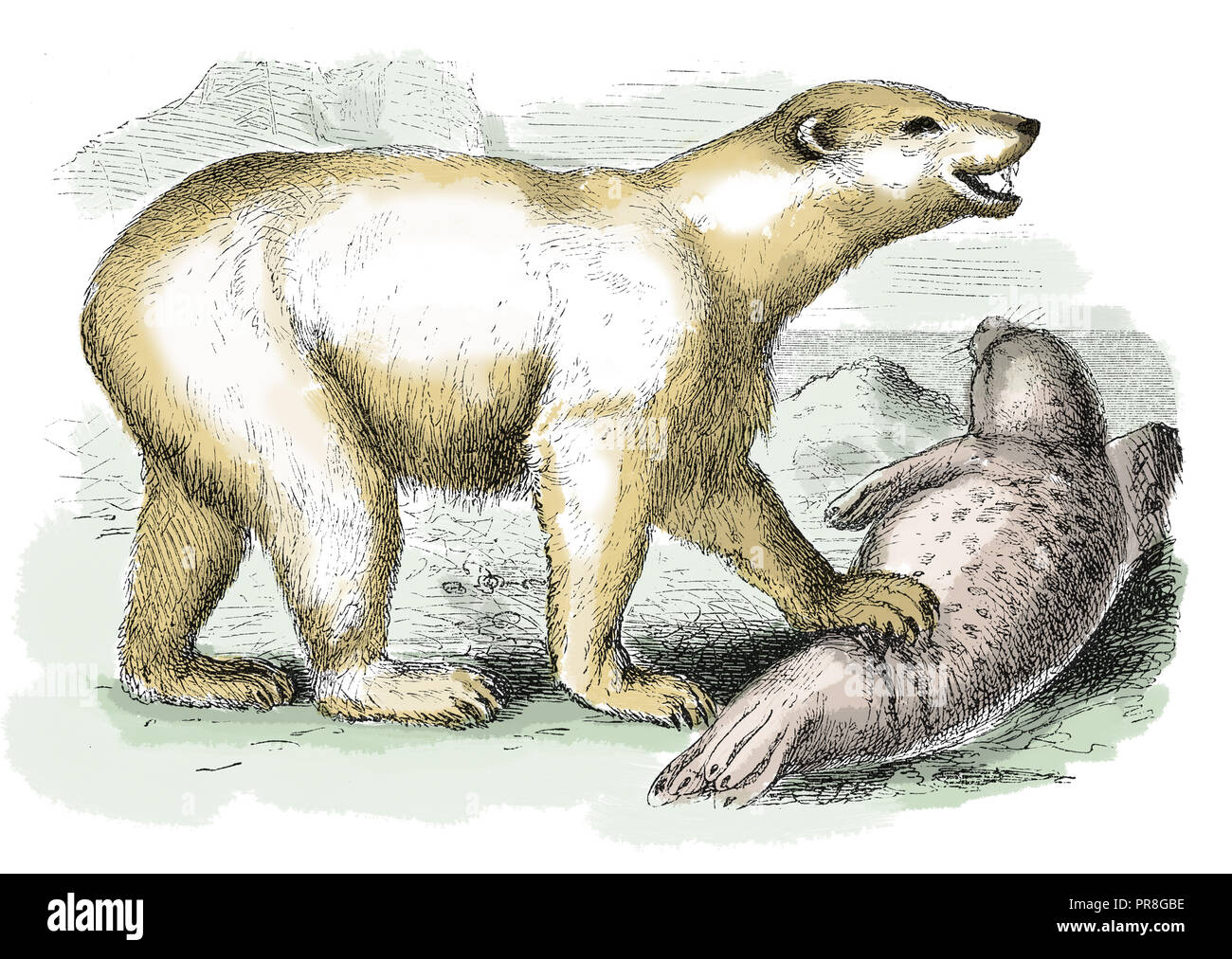 19th century illustration of a polar bear - carnivorous bear whose native range lies largely within the Arctic Circle, encompassing the Arctic Ocean,  Stock Photo