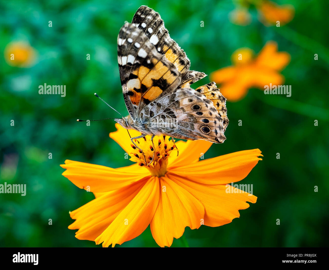 A painted lady butterfly rests on an orange cosmos flower along a field in central Kanagawa Prefecture, Japan. Stock Photo