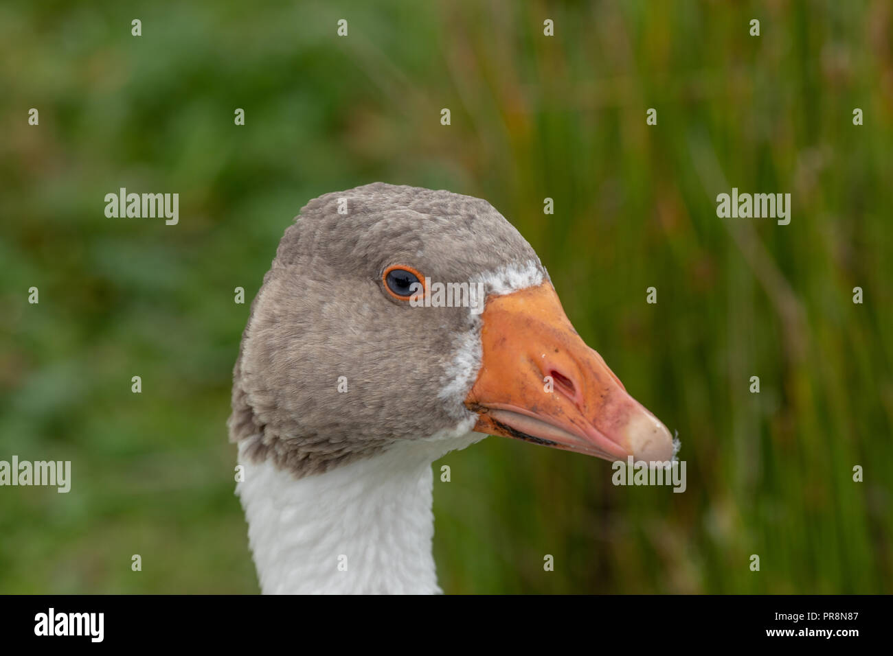 The Goose - Stock Image