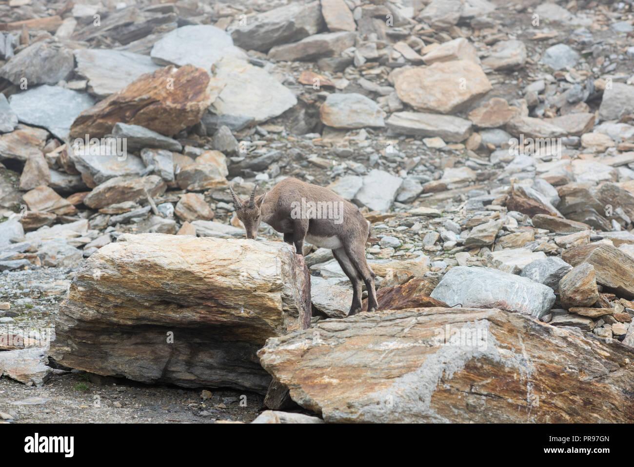 ibex family in switzerland alps, Hohsaas 3200m ü. M - Stock Image