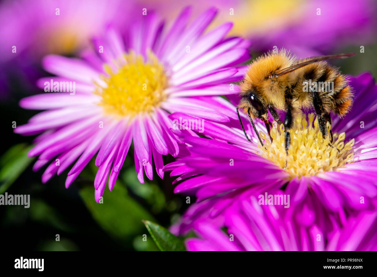 Pink Aster Flowers Stock Photos Pink Aster Flowers Stock Images