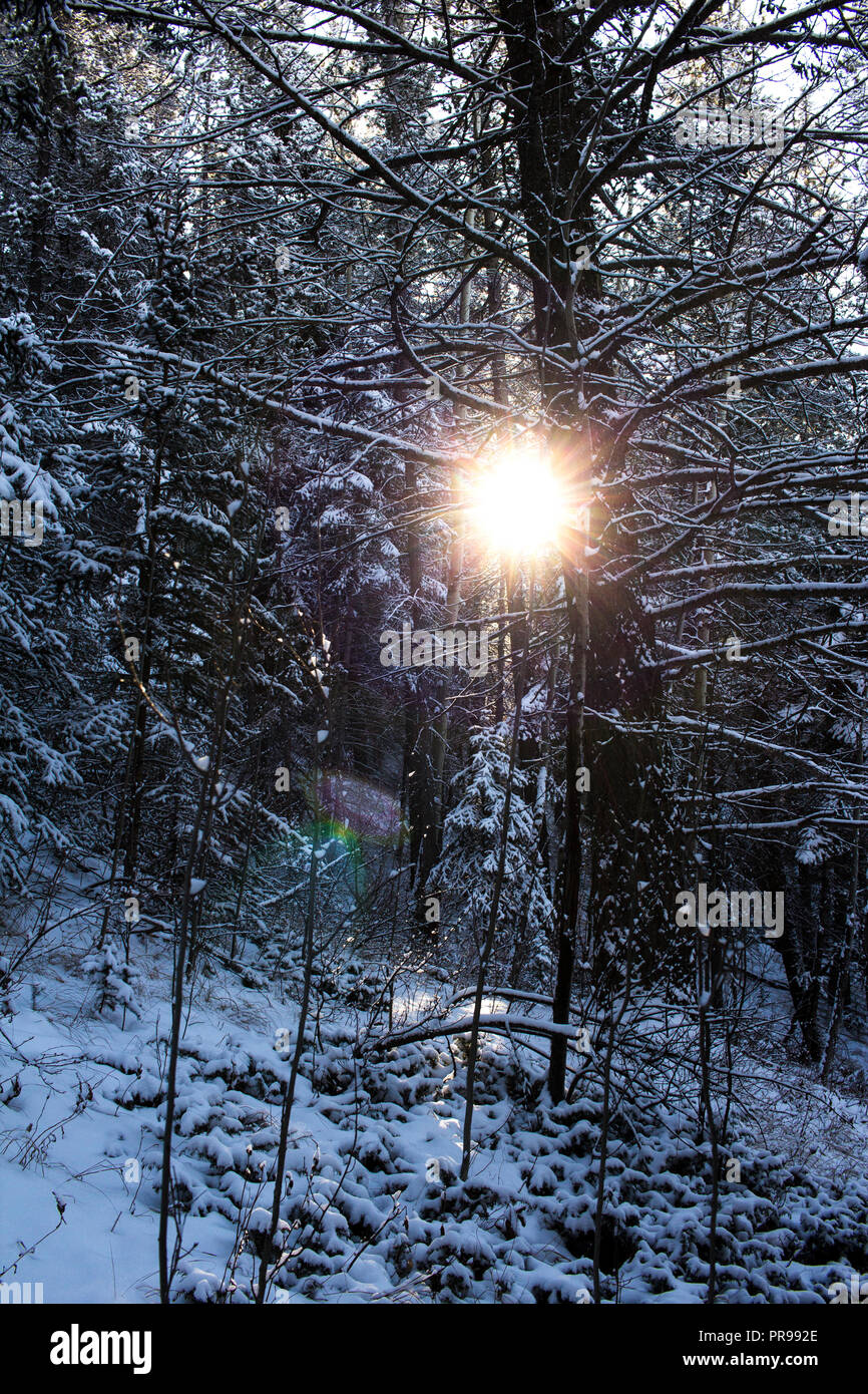 Walking through the snowy forest of Silvertip Road in Canmore, Alberta, Canada on Christmas day. - Stock Image