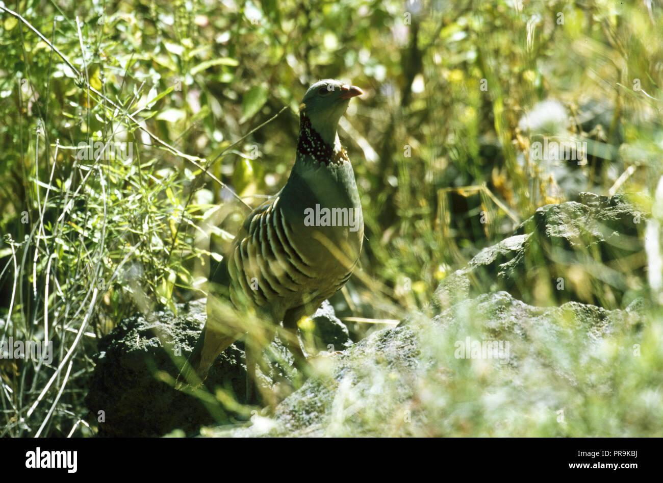 Barbary Partridge, Alectoris barbara, Masca.Tenerife. Canary Islands. Spain. - Stock Image