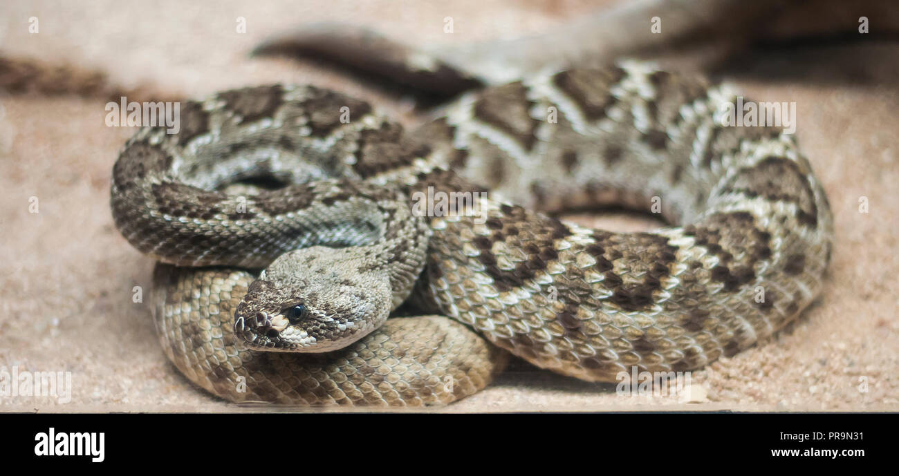 Snake in the zoo La Paz Baja California Sur MEXICO - Stock Image