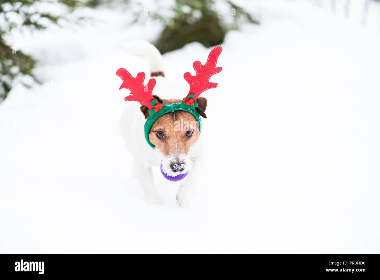 Dog as humorous reindeer fetches Christmas tree ball toy - Stock Image