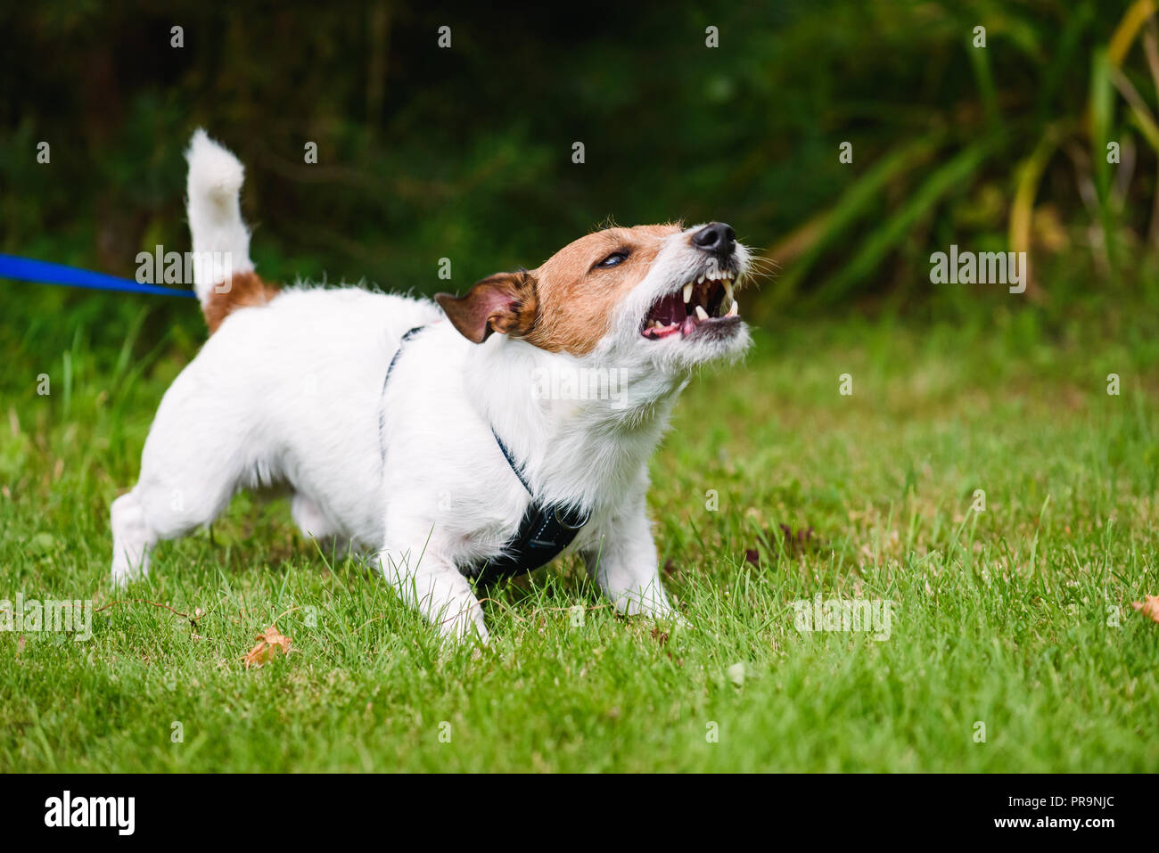 Angry dog aggressively barking and defending his territory - Stock Image