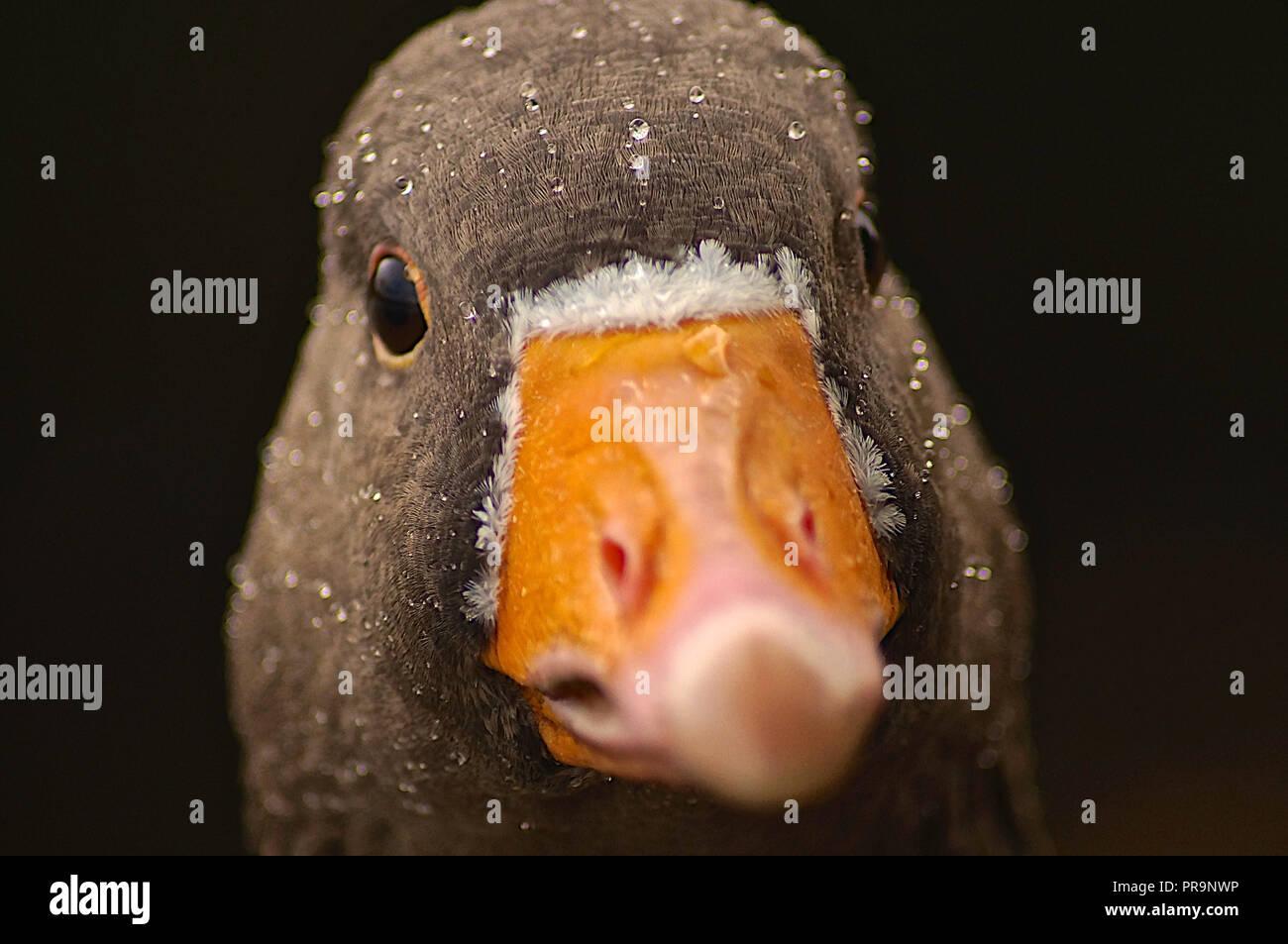 Greylag goose close up face - Stock Image