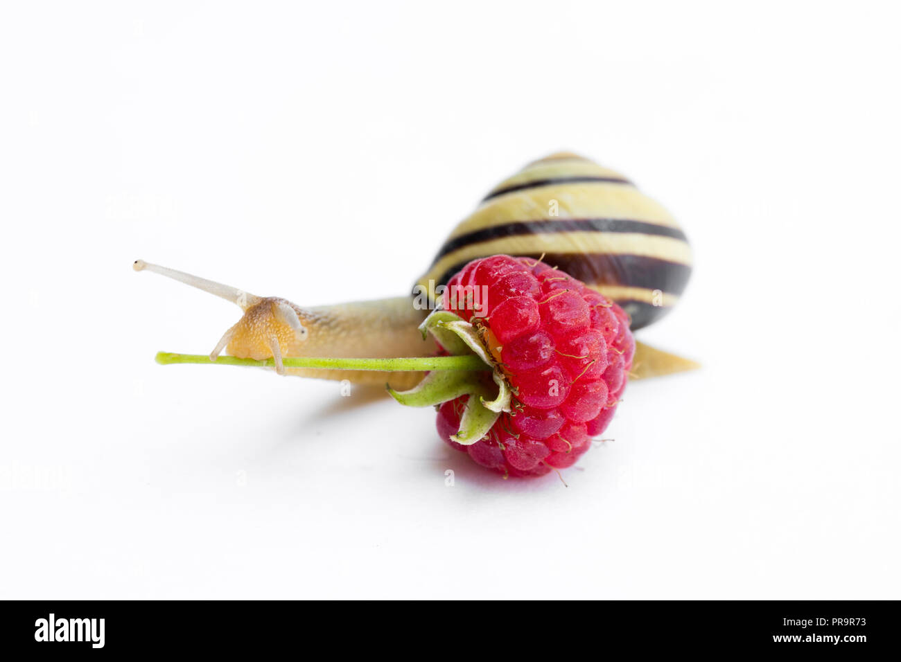 Snail  exploring raspberry isolated on white. Concept of healthy food. - Stock Image