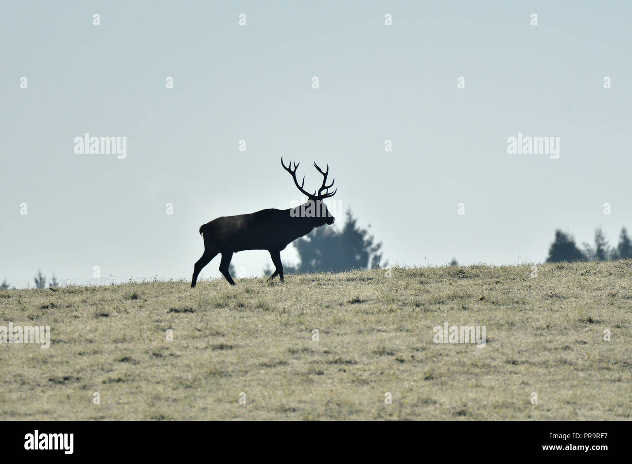 contour of silhouette of a deer with antlers on the horizont - Stock Image
