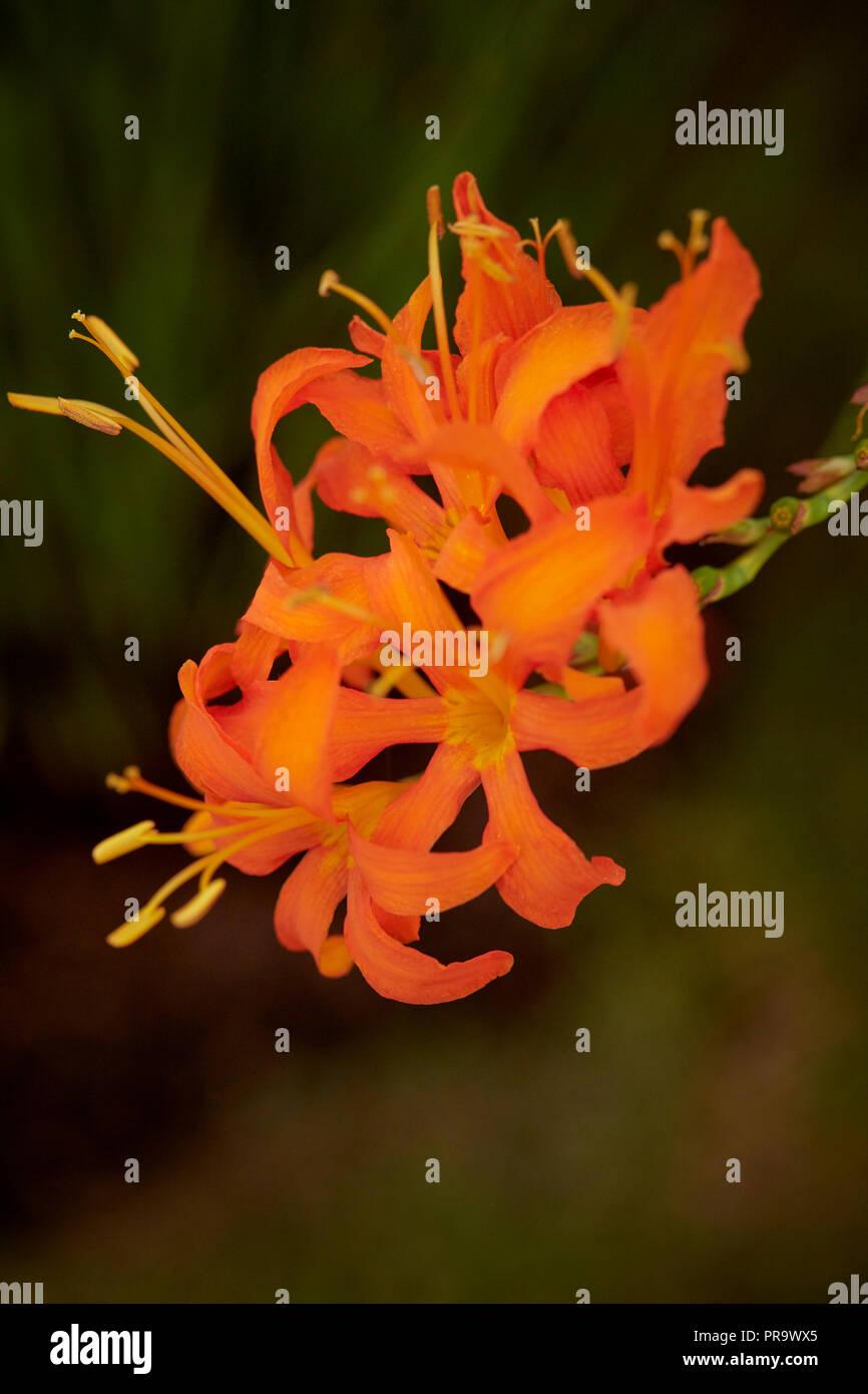 Crocosmia Masoniorum - Iridaceae at Tatton Park Flower Show 2018 - Stock Image