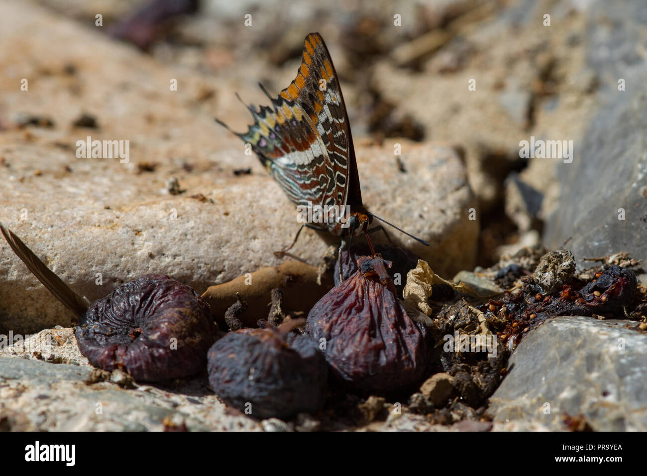 Two Tailed Pasha butterfly Charaxes jasius  feeding on fallen fig. Sardinia. Italy - Stock Image