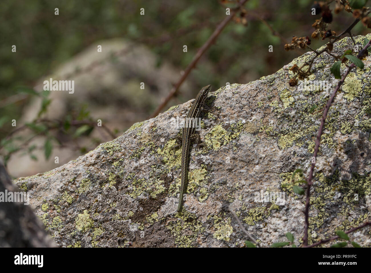 Basking wall lizard.. Sardinia - Stock Image