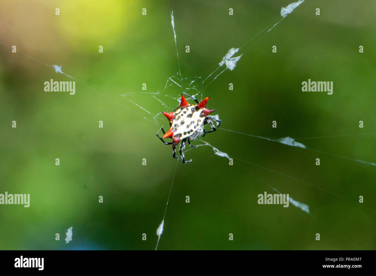 A red and yellow Spinybacked Orbweaver spider (Gasteracantha cancriformis) on its web at the Audubon of Martin County, Stuart, Florida, US - Stock Image