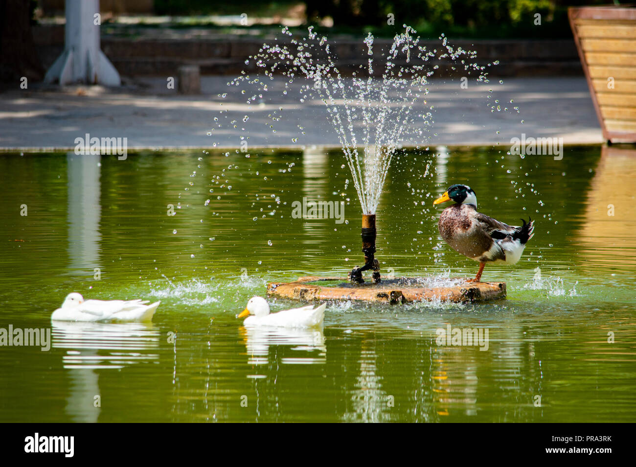 Ducks bathing in a pond - Stock Image