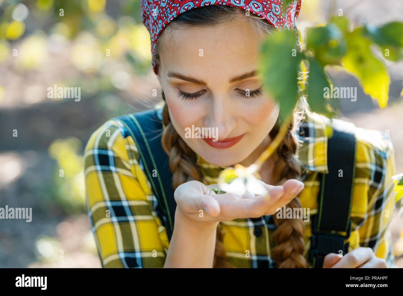 Woman farmer testing the quality of the hop harvest - Stock Image