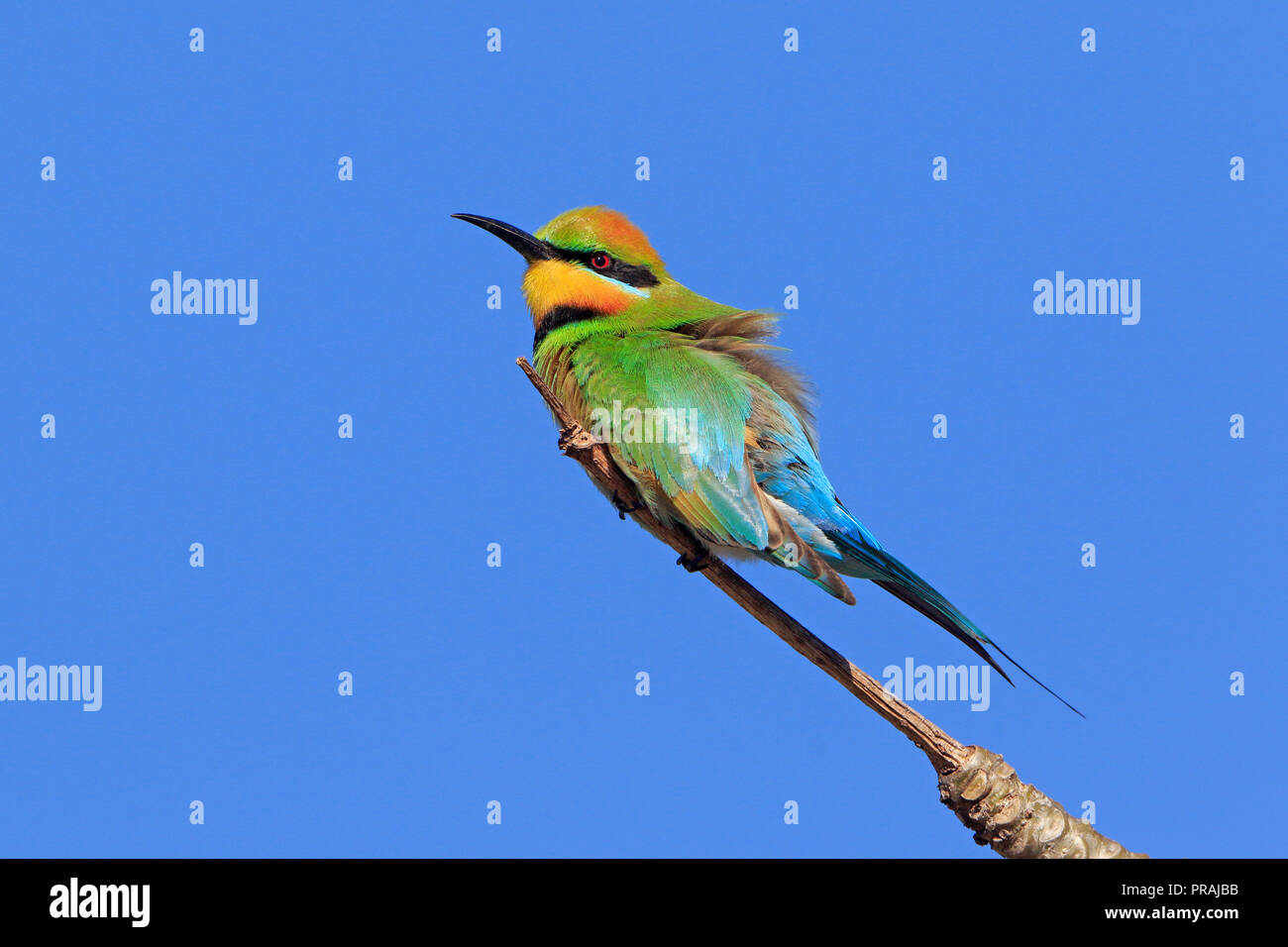 Male Rainbow Bee-eater in Cairns far North Queensland Australia - Stock Image