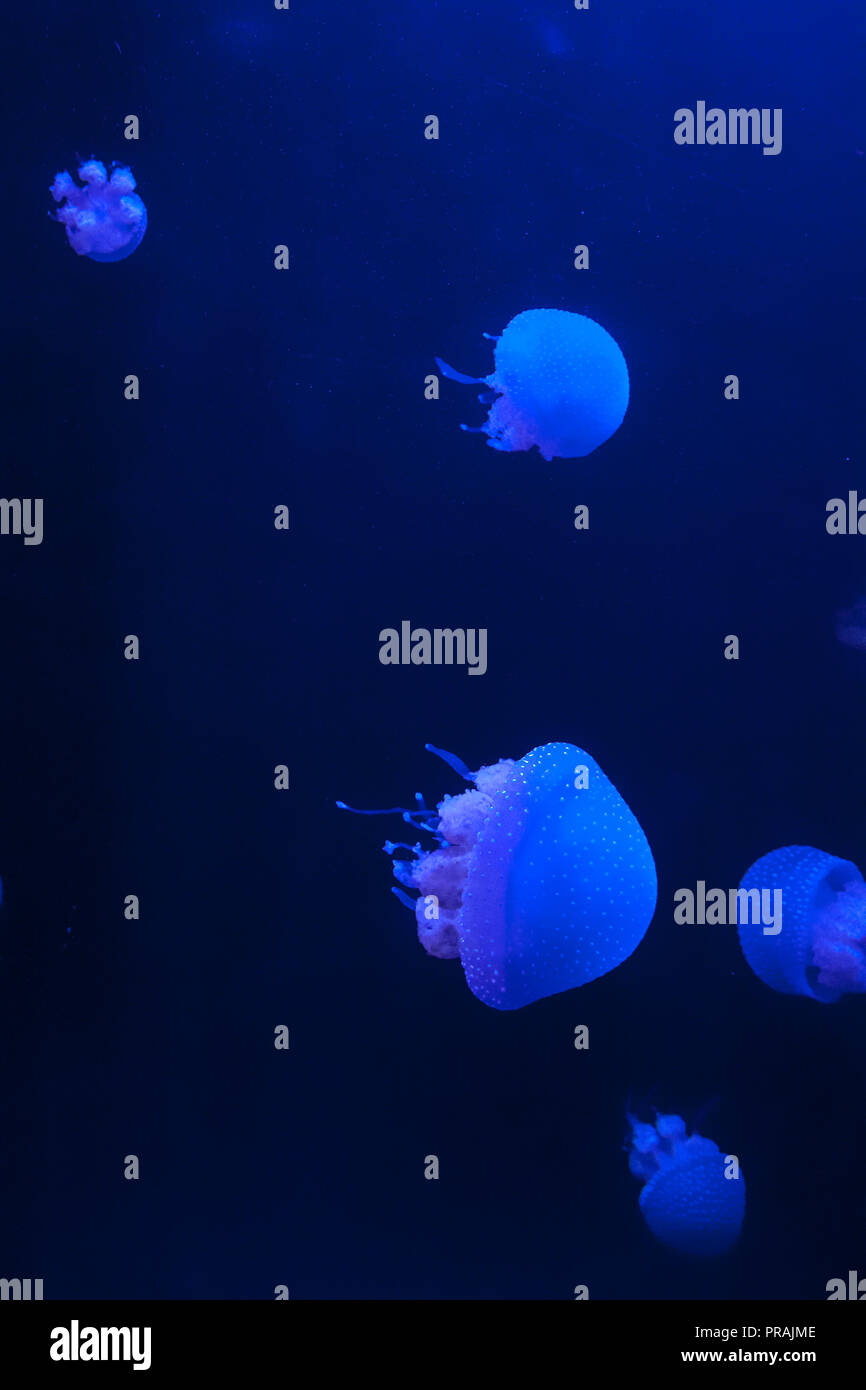 Group of White Spotted Jellyfish in Blue Water, Phyllorhiza punctata Stock Photo