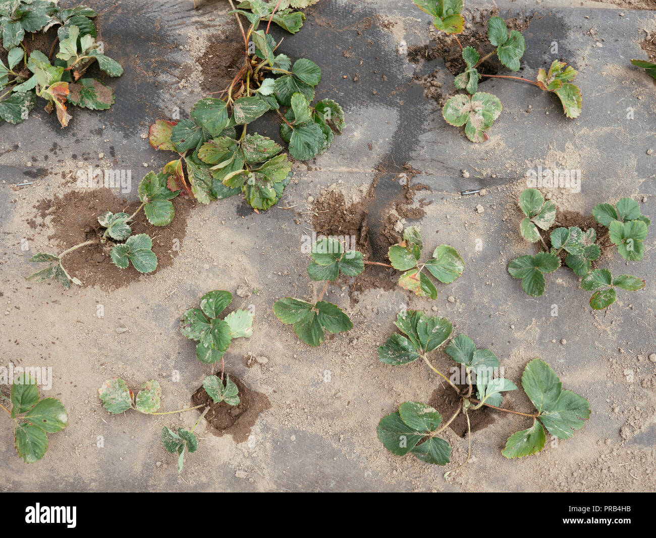 Strawberries planted in a hill system with 3 rows, covered with a biodegradable and compostable weed suppression fabric. Stock Photo