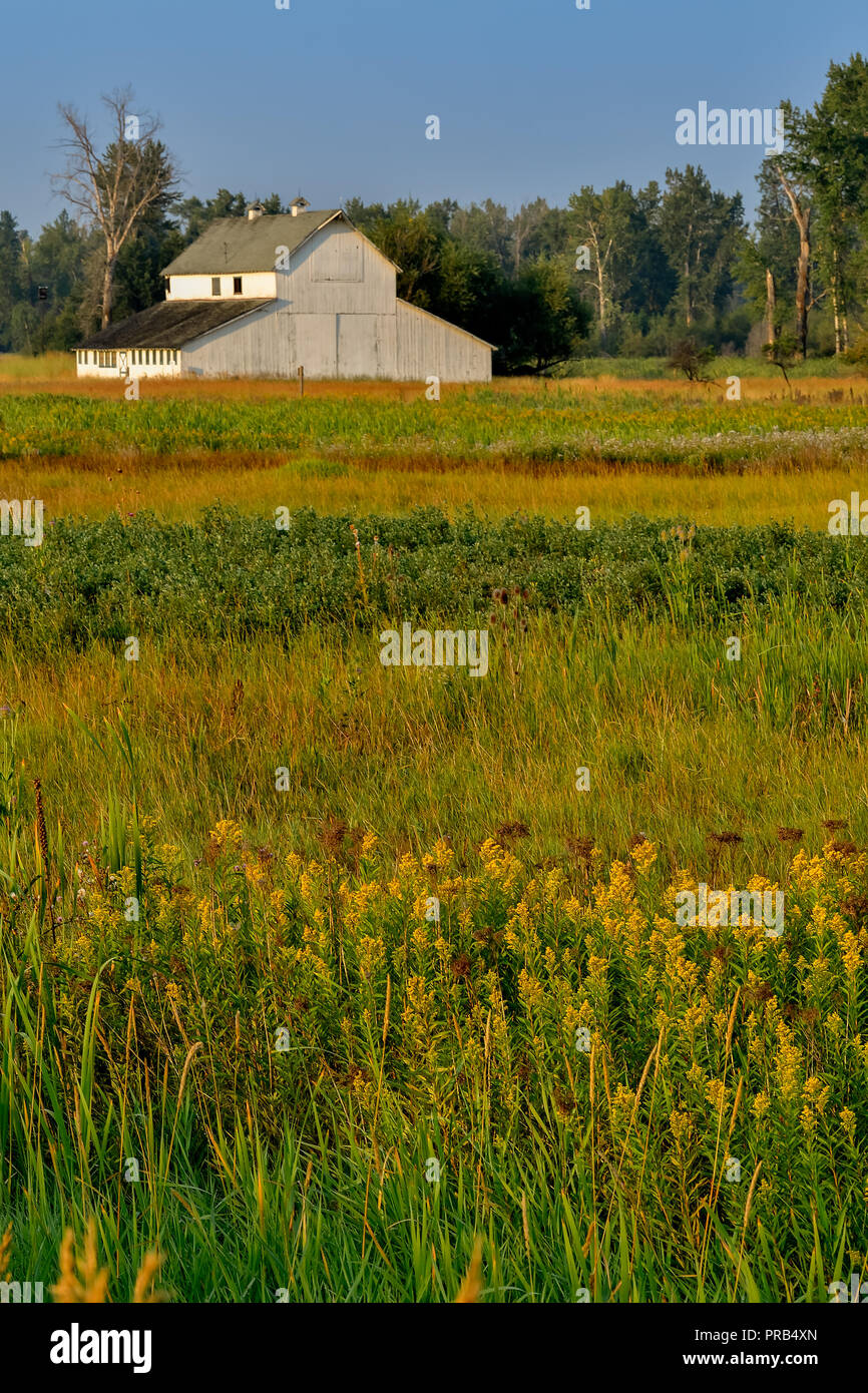 White Barn at the edge of field of Canada Goldenrod in Lee Metcalf National Wildlife Refuge - Stock Image