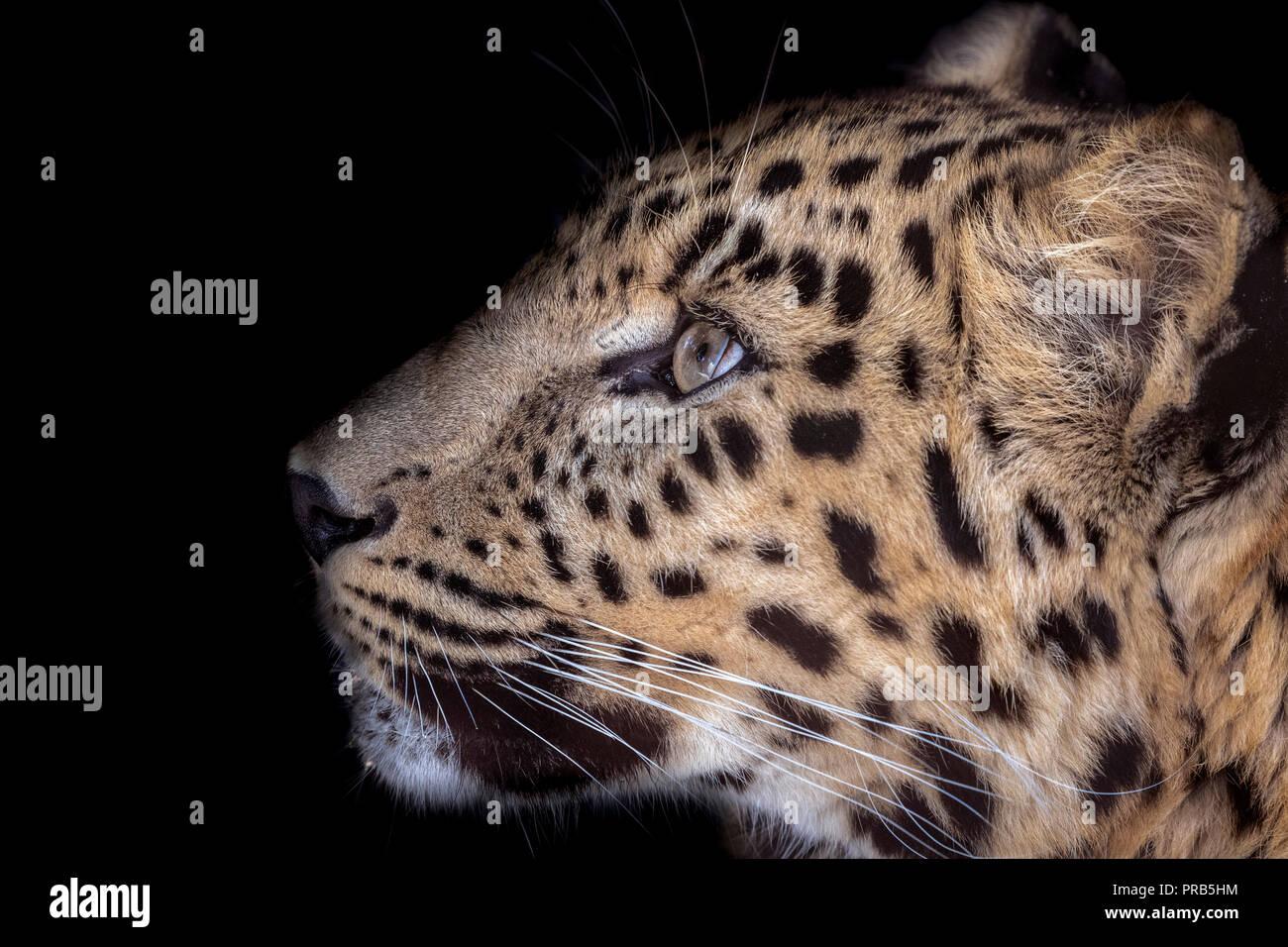Male Amur leopard (profile) - Stock Image