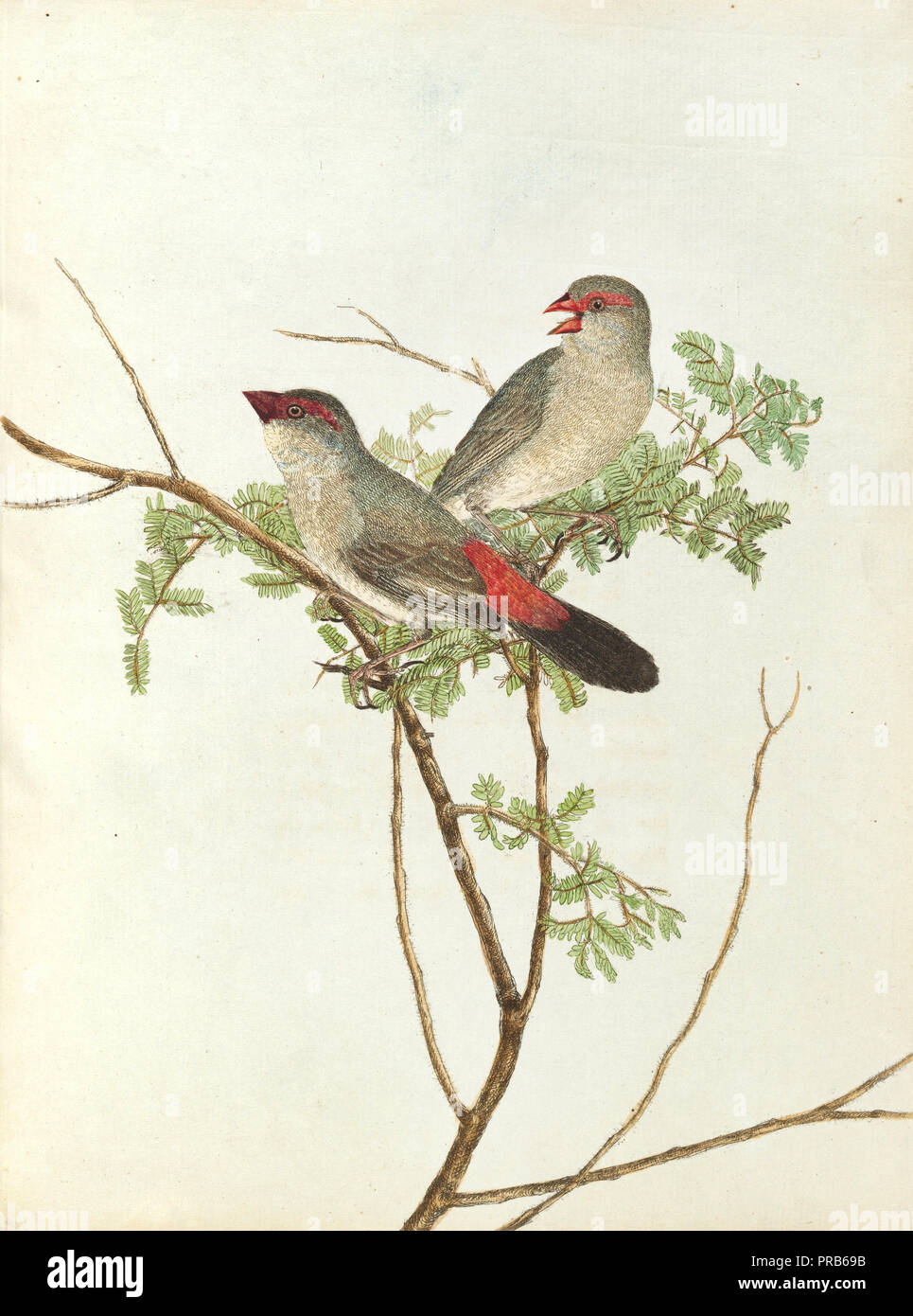 John Lewin, Common Grossbeak, 1805 Print, National Gallery of Australia, Canberra, Australia. - Stock Image