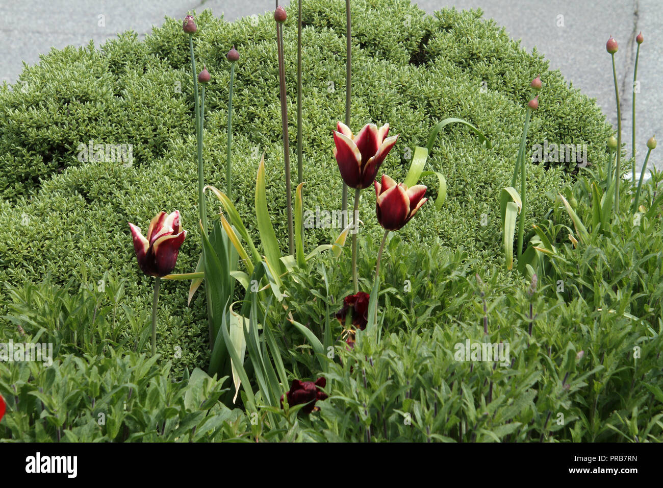 Red Flowers With White Yellow Tips In A Bed Of Green Plants Stock