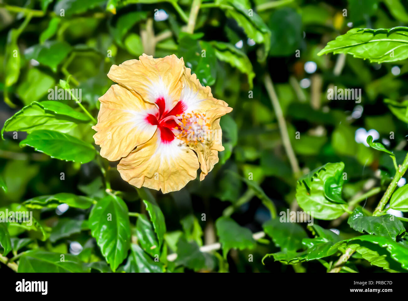 Hibiscus Chinese Rose Tropical Plant Common Plant In Thailand
