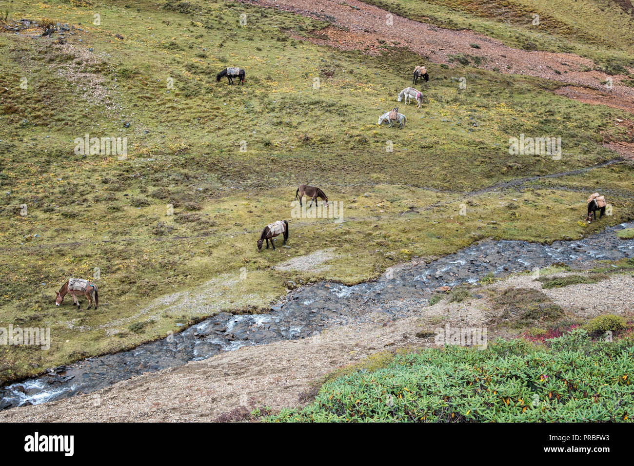 Horses grazing by a river, Thimphu District, Snowman Trek, Bhutan Stock Photo