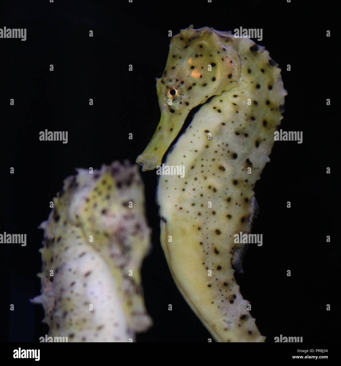Seahorses, Hippocampus - Stock Image
