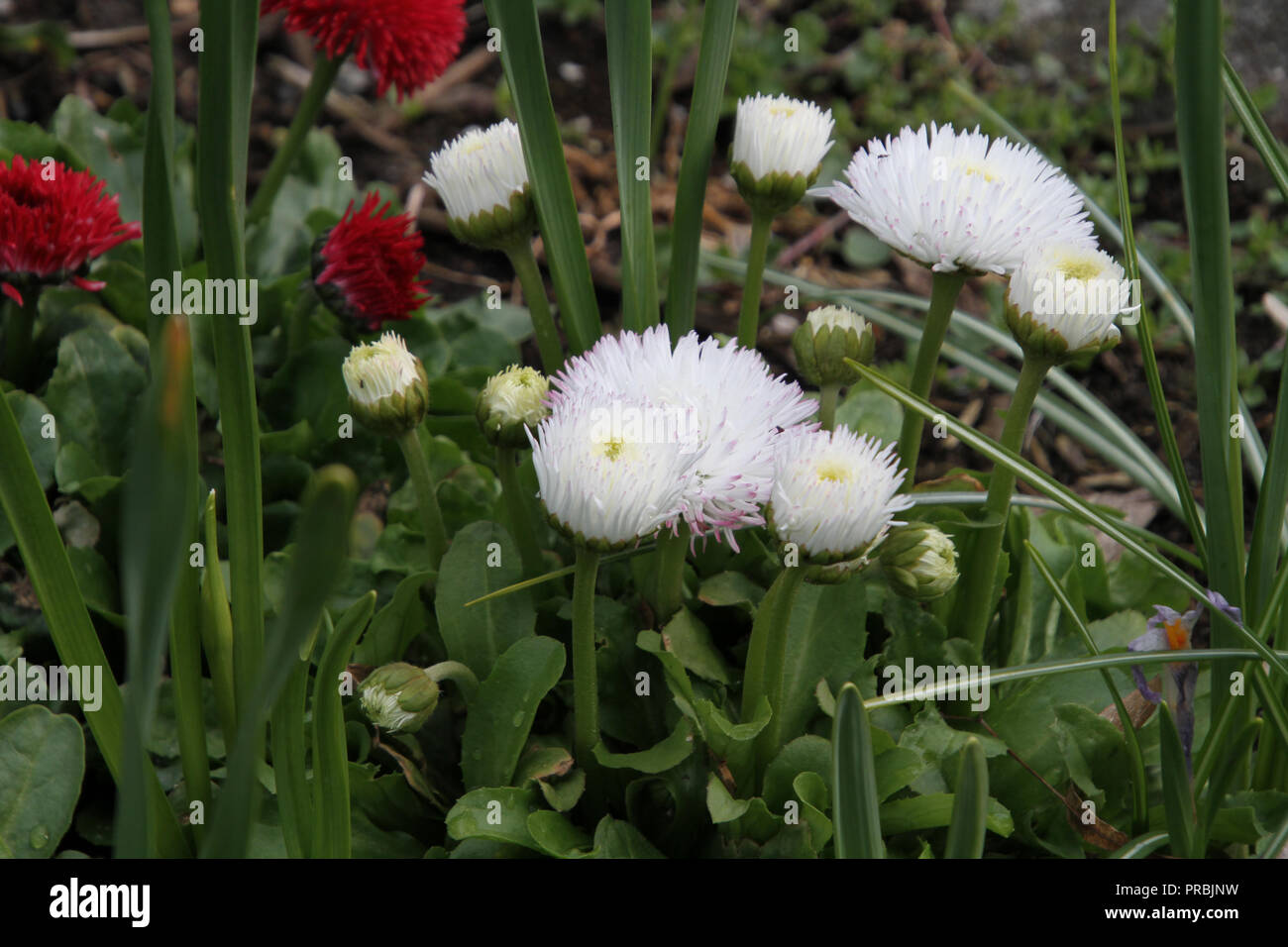 White flower red tips stock photos white flower red tips stock white flowers with purple tips with red flowers in the background stock image mightylinksfo