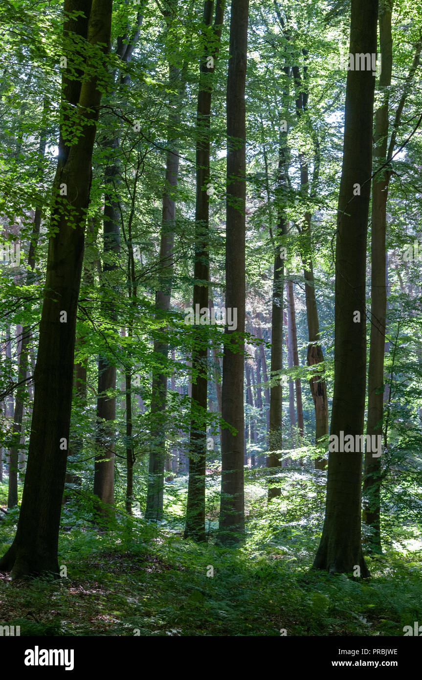 Sonian forest brussels - Stock Image