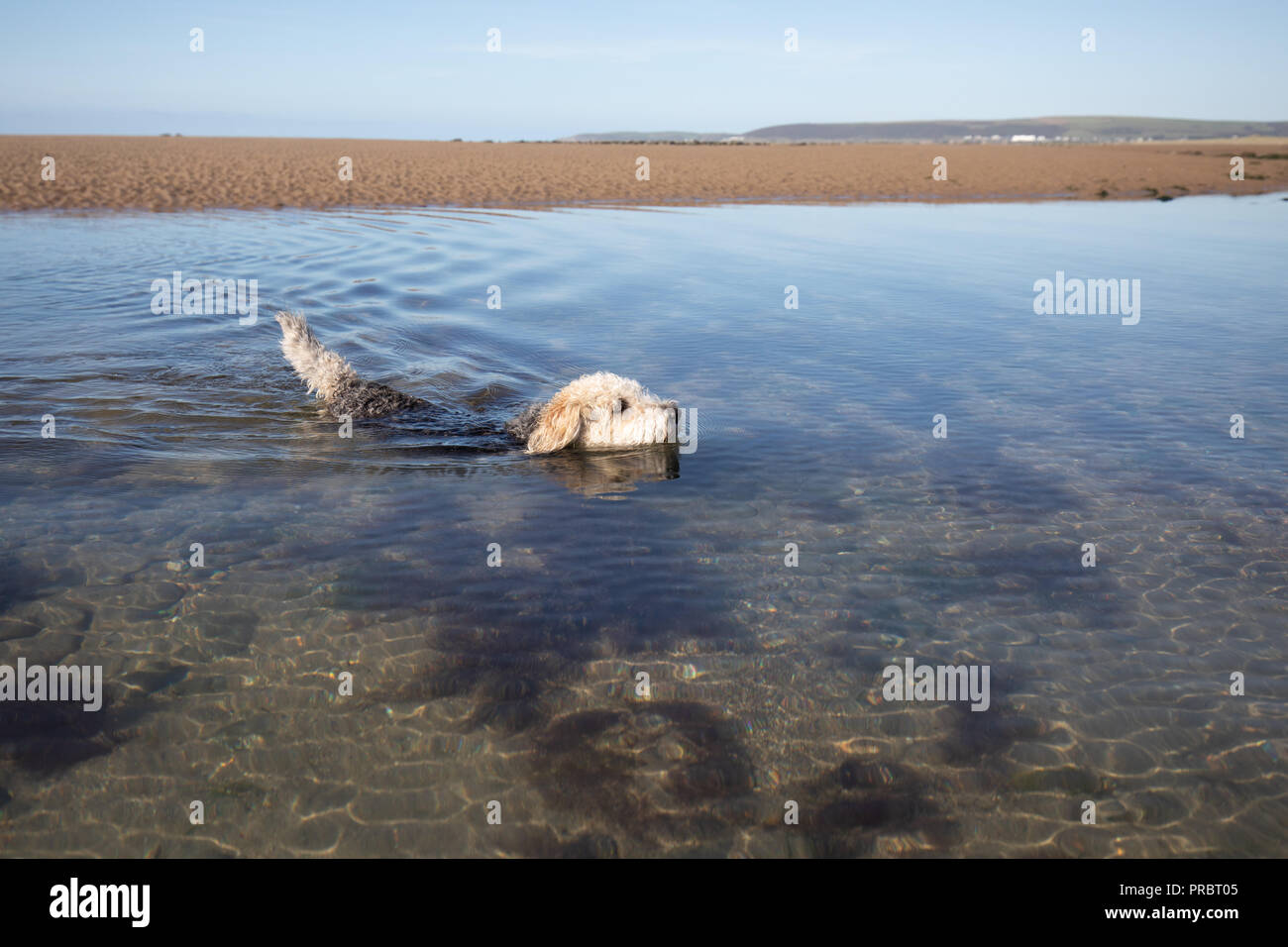 A dog cools off at the beach in Devon - Stock Image