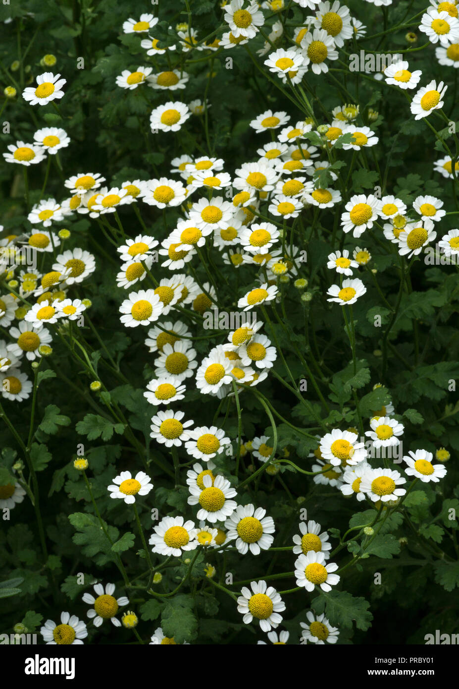 The Leaves and flowers of the medicinal herb Feverfew  (Tanacetum parthenium) growing in a garden situation. - Stock Image