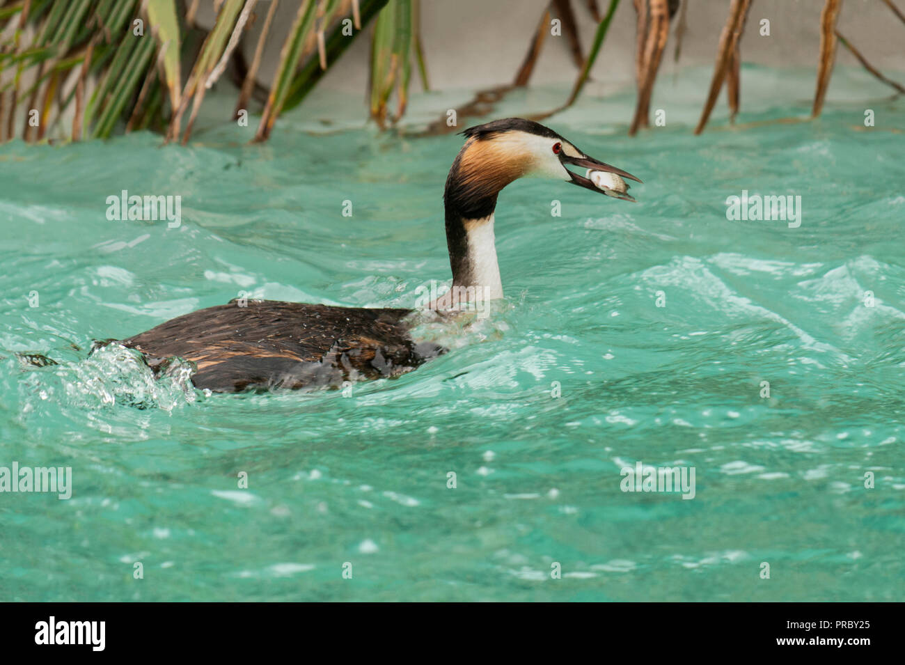 Great Crested Grebe (Podiceps cristatus).Adult in summer plumage.Carrying a large fish. - Stock Image